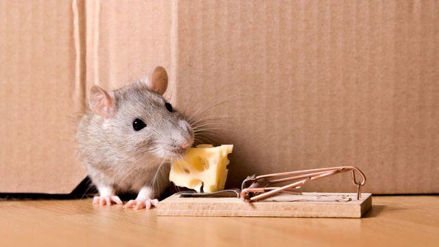 Comment se débarrasser des souris dans les murs ?
